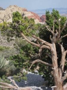 windswept-tree1