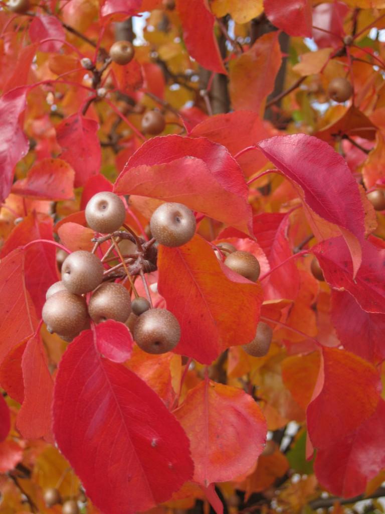 red-leaves-berries1