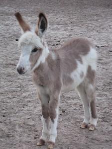 miniature donkey 3