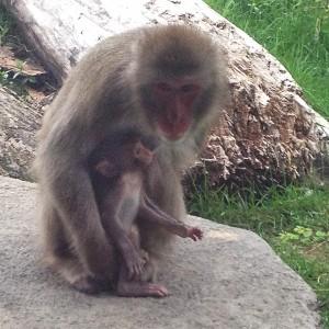 baby macaque 2