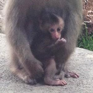 baby macaque 5