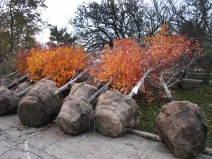new fall trees 1