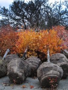 new fall trees 3